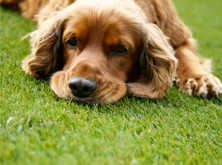 artificialgrass-dog